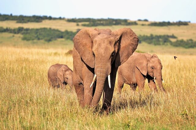 アフリカのサファリの象