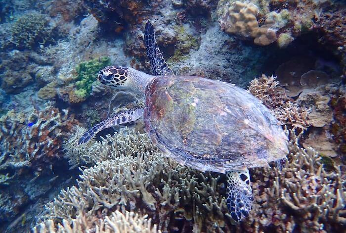ミニロック島のウミガメ